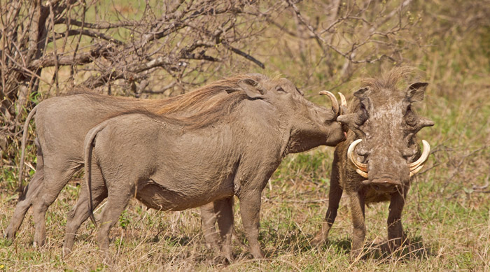the bizarre antics of mating warthogs africa geographic