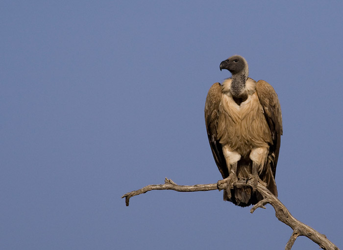 White-backed vulture © Mark Anderson