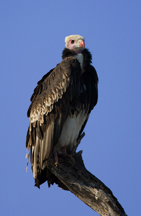 White-headed vulture © Mark Anderson