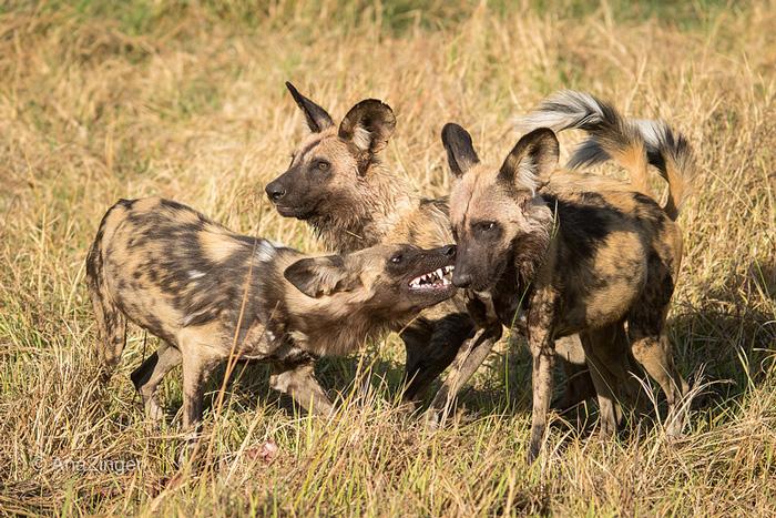 Wild-dogs-on-foot-walking-in-chiefs-WEB