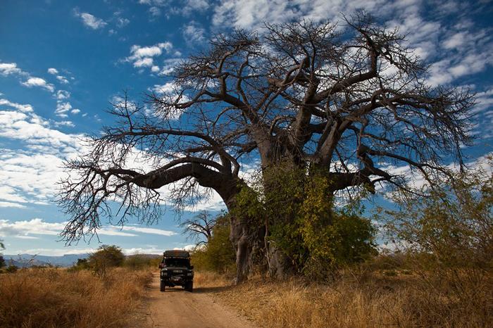 Zimbabwe's huge baobab trees make you feel very small