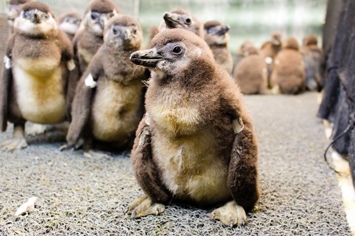 Rescued penguin chicks © Francois Louw/SANCCOB
