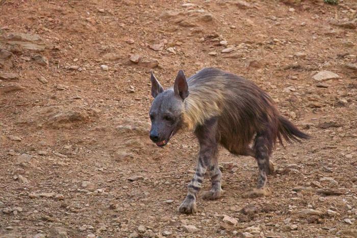 brown-hyena-jacis-lodge
