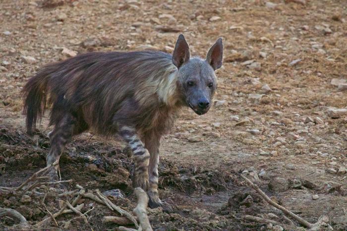 brown-hyena-terrapin-hide-madikwe