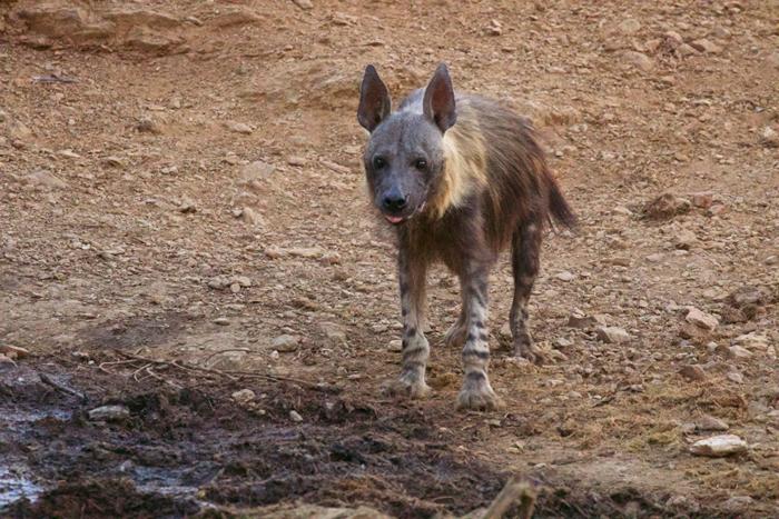 brown-hyena-waterhole-madikwe