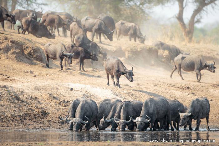 buffalo-Luangwa-River