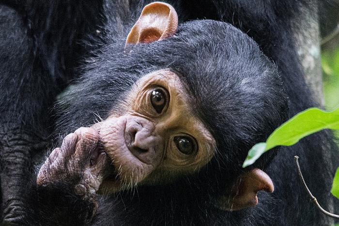 chimpanzee-baby-stare-greystoke-mahale