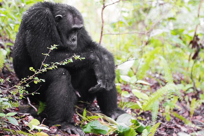 chimpanzee-grumpy-wet-greystoke-mahale