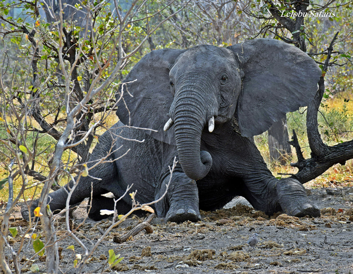 8 unexpected uses for elephant dung - Africa Geographic