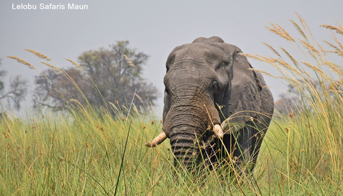 elephant-lelobu-safaris