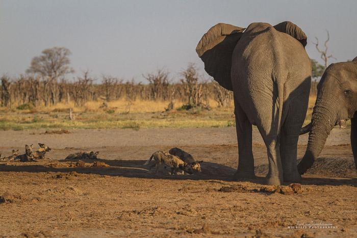 Wild Dogs Vs Elephants Africa Geographic