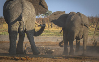 elephant-vs-wild-dog