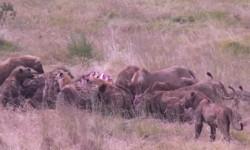 feed-lions-hyena-tanzania