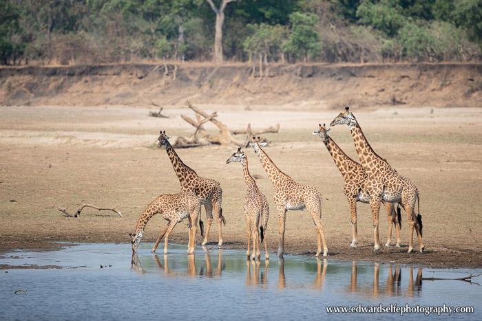 giraffes-Luangwa-River