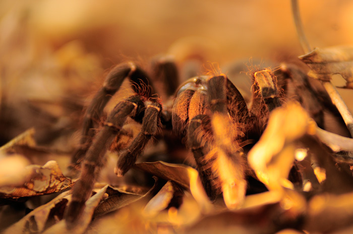 Goliath birdeater spider
