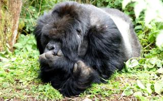 gorillas-uganda