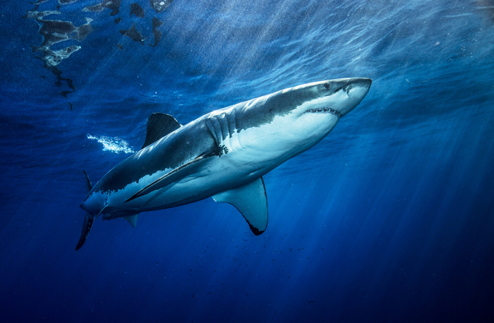 Morne Hardenberg / Shark Explorers