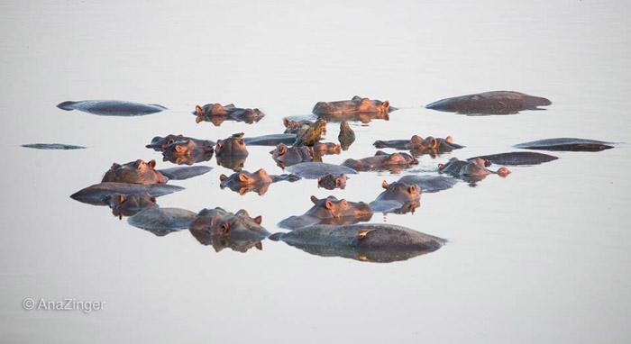 hippos-luangwa