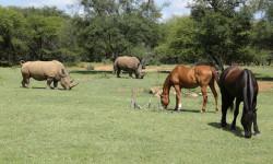 horses-grazing-with-rhino