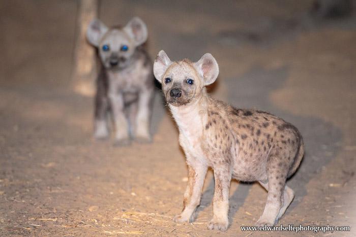hyena-Luangwa