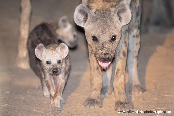hyenas-Luangwa