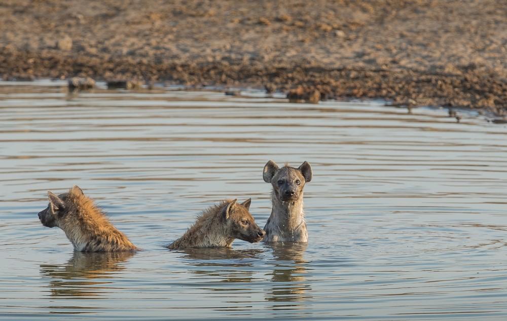 Hyenas take a dip to cool down.