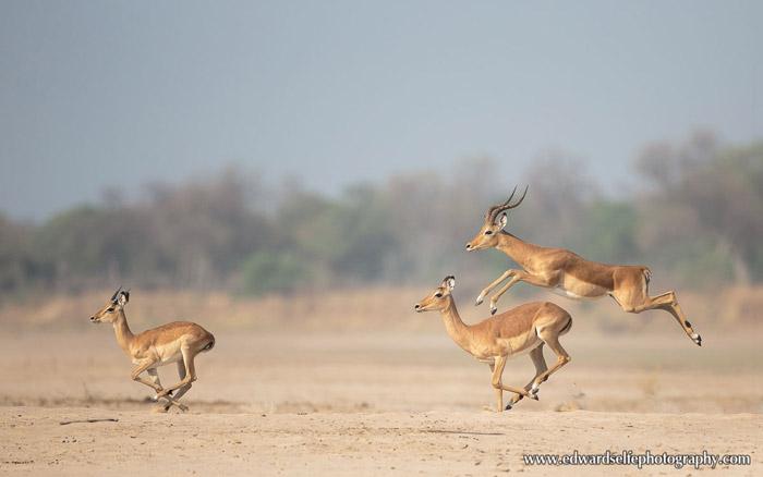 impala-Luangwa-River