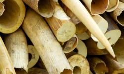 ivory-stoke-pile