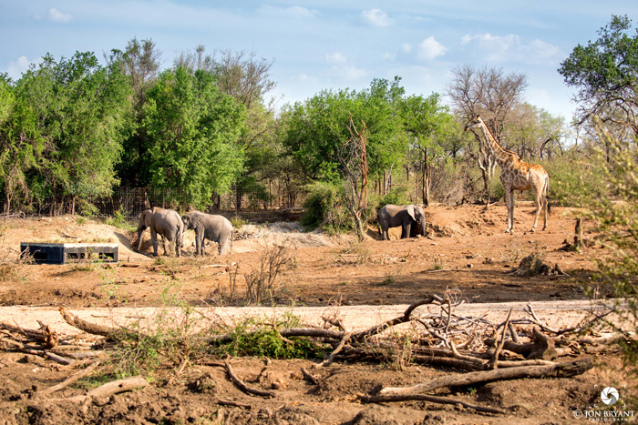 Heading out on drive, we look back towards the waterhole and Terrapin hide to see elephants and giraffe's coming down to drink.