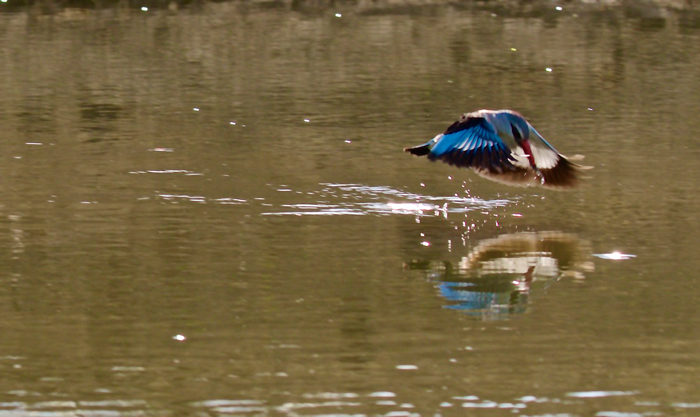 kingfisher-tries-to-catch-frog