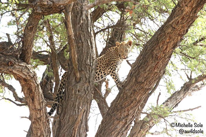 leopard-cub-in-tree
