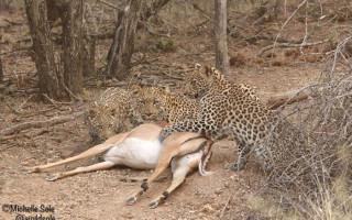 leopard-cub-kill