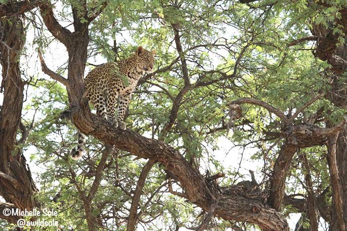 leopard-cub-tree