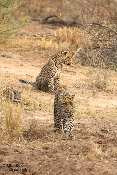 leopard-cubs-in-open