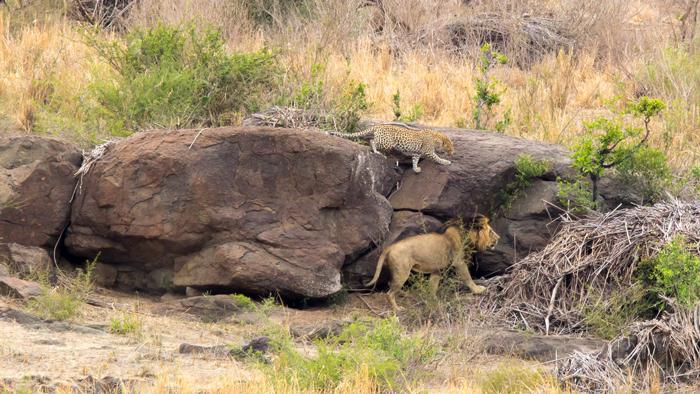 leopard-follows-lion