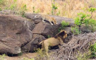 leopard-hisses-at-lion