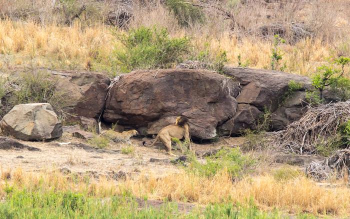 leopard-jumps-down-off-rock