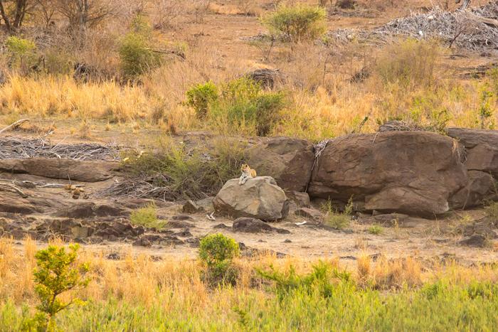 leopard-on-rock-kruger