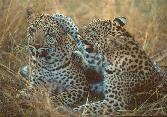 leopard-safari