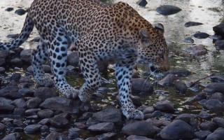 A photo of a leopard on Siyafunda's website.