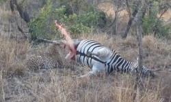 leopard-zebra-carcass