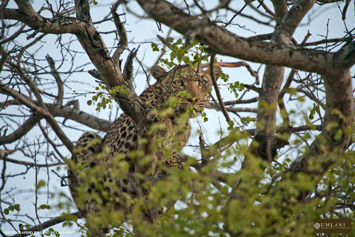 Marula female amongst the prickly branches of the Knobthorn tree, where she chose to escape from Ntsogwaan.