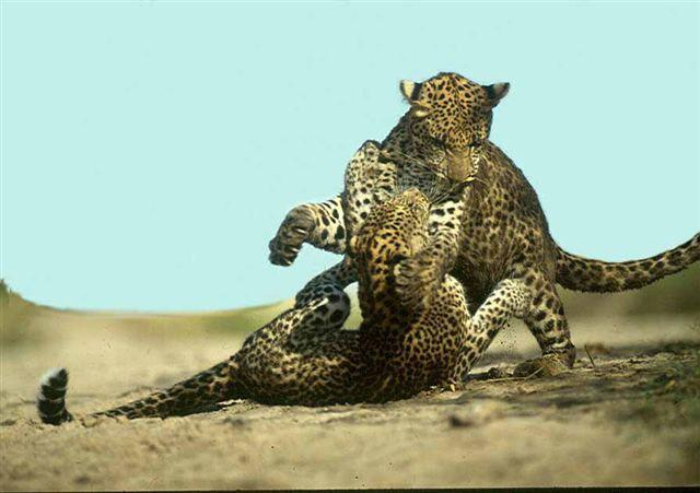 leopards-luangwa-graham-cooke