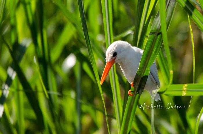 leucistic-malachite-kingfisher-uganda