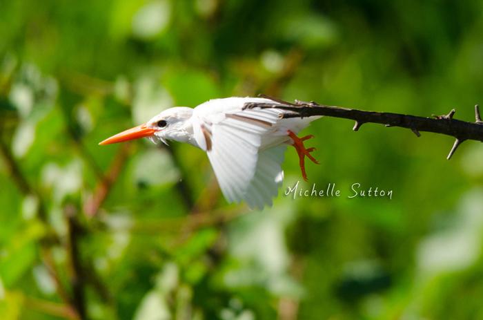 leucistic-malachite-kingfisher