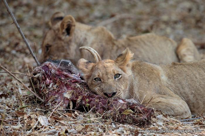 lion-carcass