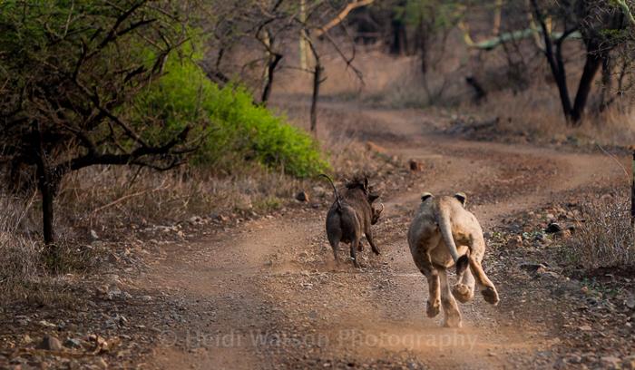 lion-chasing-warthog