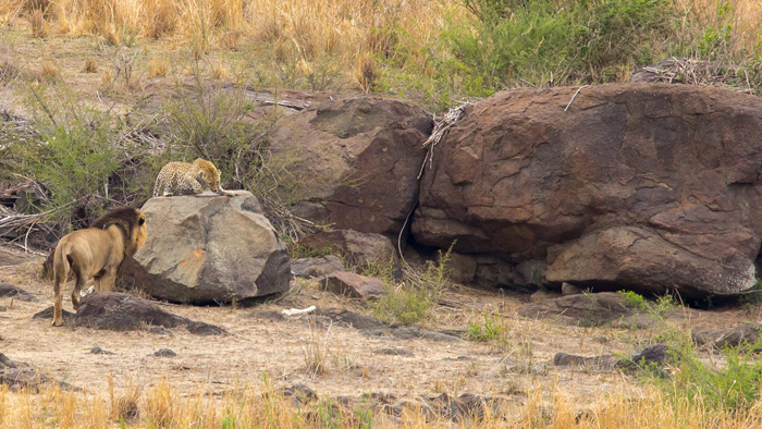 lion-comes-up-to-leopard