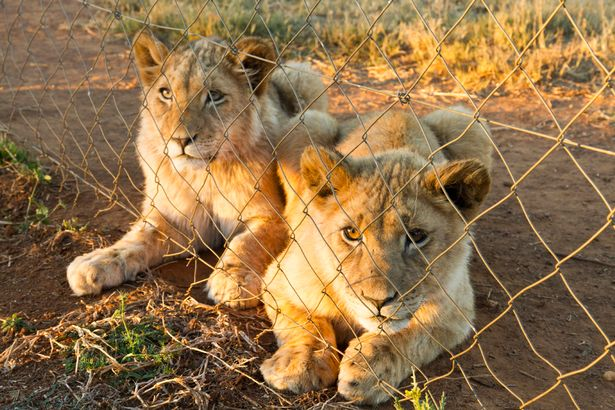 Born in a cage: Lion cubs are bred for killing