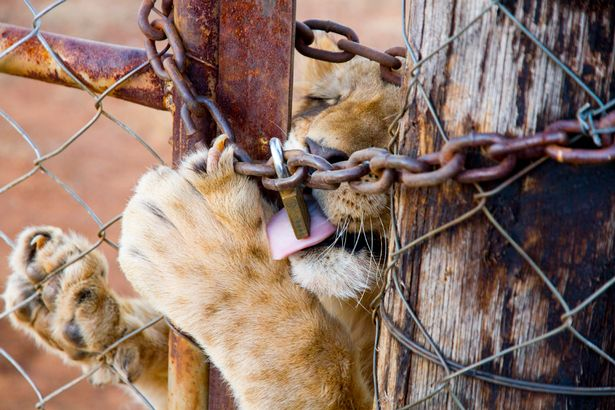 Call of wild: But this cub is locked in